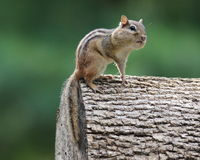 Summer Chipmunk Stock Photo