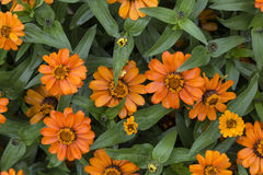 Summer in the city park - bright orange flowers  as background. Bright orange flowers on  background of green leaves close-up on  summer flowerbed. Natural Stock Image