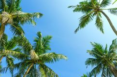 Summer clear blue sky with tropical coconut palm trees. Bottom view. Vacation, relax, holidays background. Empty copy space for text Stock Image