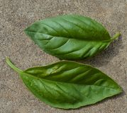 Close up photo of 2 green basil plant leafs growing outside in a garden. Summer. Close up photo 2 green basil plant leafs on the ground Royalty Free Stock Photos