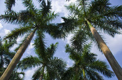 Summer coconut treetops in blue sky. View to the tops of a cluster of tall trees in summer from a low viewpoint Stock Images