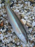 Summer colorful small fish on beach sand macro shoot close up royalty free stock photography