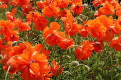 Summer colors. Poppies field Royalty Free Stock Photography