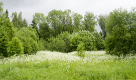 Summer colors. Nature of Russia. Meadow in the forest full the white flowers Royalty Free Stock Images