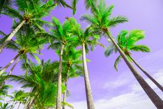 Summer colors palm trees image. Low point of view, looking up through palms skyward with purple sky and lime green palm fronds Royalty Free Stock Photography