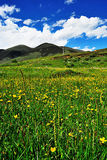 Summer comes to Western Sichuan Plateau. Grassland turns green, yellow flowers scatter over grassland Stock Photos