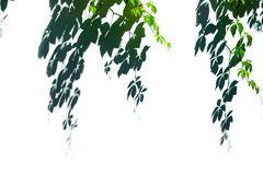 Green Leaves Shadow on white wall. stock photos