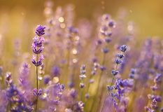 Summer concept - purple lavender flowers Royalty Free Stock Photo