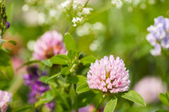 Summer concept: Wild clover flowers on a field , sunny day Stock Photography