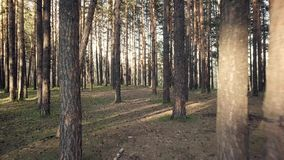 Trails in the forest. Summer coniferous forest. Siberia, hills, shooting with drones DJI stock video