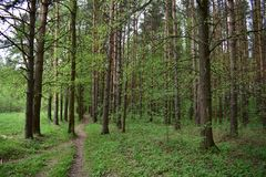 Summer in a coniferous pine forest begins with the end of flowering trees. And green decoration of trees and land stock images