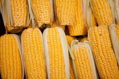 Summer of Corn Royalty Free Stock Photo