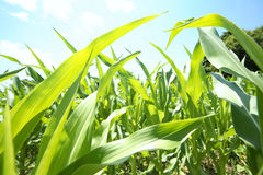 Summer corn crop Royalty Free Stock Photography