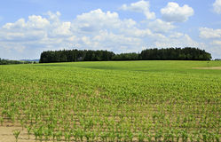 Summer corn field in suburbs Prague Royalty Free Stock Image