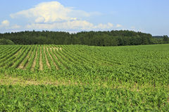 Summer corn field in suburbs Prague Royalty Free Stock Photos