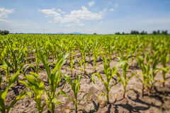 Summer corn fields with sun, saturated landscape Royalty Free Stock Photo