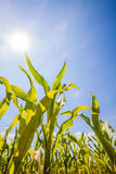 Summer corn fields with sun, saturated landscape Royalty Free Stock Photos