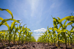 Summer corn fields with sun, saturated landscape Royalty Free Stock Image