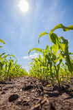Summer corn fields with sun, saturated landscape Stock Photos