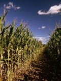 Summer: corn maze path Royalty Free Stock Image