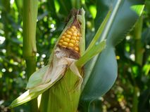 Summer: corn plant Stock Photos