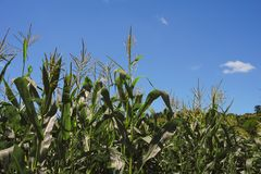 Summer Cornfield, Blue Sky Royalty Free Stock Images