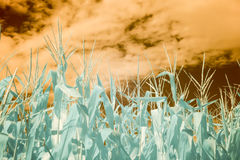 Summer cornfield in infrared against orange skies. Cornfield in infrared against orange skies with clouds stock image