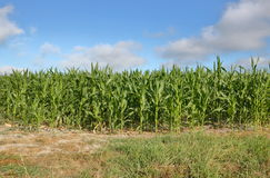 Summer Cornfield Ripening Royalty Free Stock Images