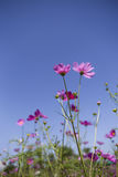 Summer cosmos flower garde Royalty Free Stock Images