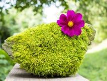 Summer cosmos flower on moss stone. Summer purple cosmos flower on moss stone Royalty Free Stock Photo