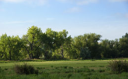 Summer Cottonwoods in Patchy Light. Summer cottonwood trees in patchy sunlight on a warm partly cloudy day Royalty Free Stock Photography