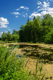 Summer country pond with green duckweed Stock Photography