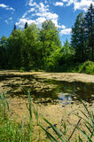 Summer country pond with green duckweed Stock Images