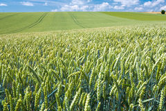 Summer country wheat field Royalty Free Stock Images
