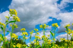 Little yellow mustard flowers against a blue sky with clouds Royalty Free Stock Photography