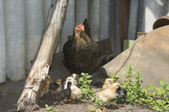In the summer in the courtyard of the hen with chicks. Stock Images