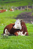 Summer cow Stock Image
