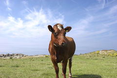 Summer Cow (brown) Royalty Free Stock Images