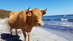 Summer cow. Sea beach sand stock image