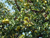 Summer crop of apples. The branches of an apple-tree with apples stock photo