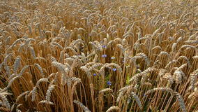 Summer crop field and wind stock video footage