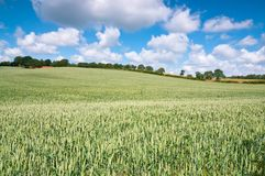 Summer Crops Royalty Free Stock Photography