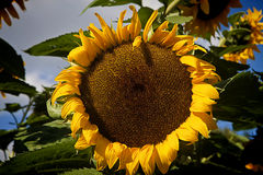 Summer cultivation, single sunflower Stock Images