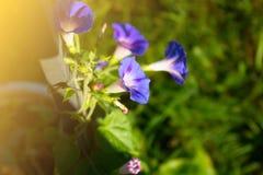 Summer curly purple flowers. Field bindweed. curly decorative flowers. summer curly purple flowers Stock Photos