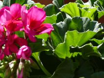 Summer Dahlia. Close up of rich pink flowers with glossy green leaves Stock Photography