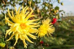 Summer dahlias in the home garden. Stock Image