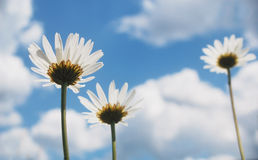 Summer daisies Stock Image