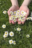Summer Daisies 2. Little girl holds up her hands with daisies stock photography