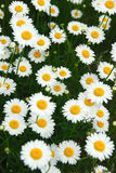 Summer daisies Stock Photos