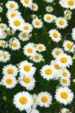 Summer daisies Stock Photos